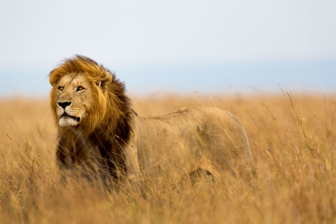 mighty-lion-watching-the-lionesses-masai-mara-kenya
